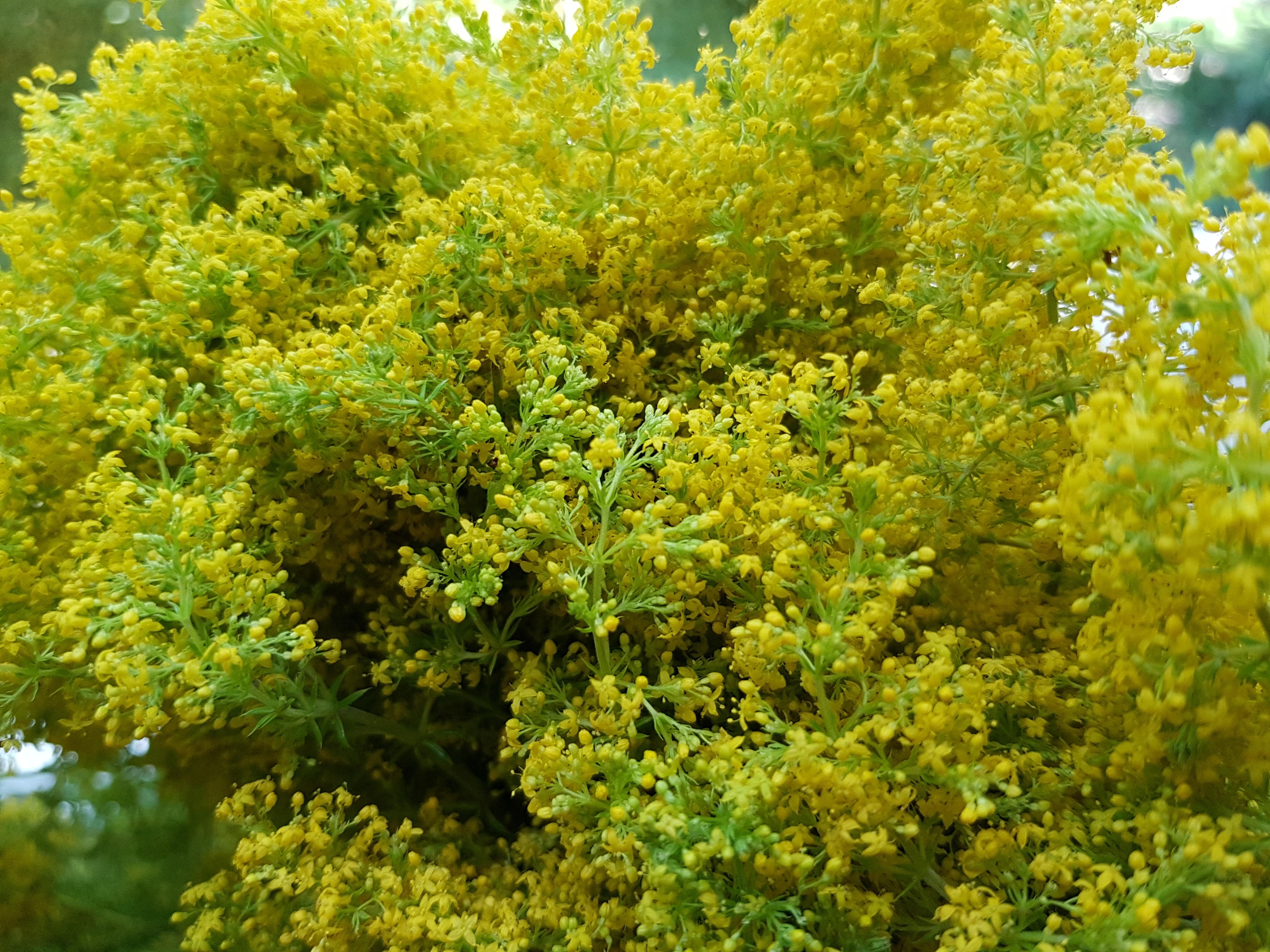 Sânzienele, cel mai de preţ leac al verii! Drăgaică sau floarea Sfântului Ion, sânzienele constituie una dintre plantele medicinale cele mai utilizate în medicina naturistă. Cele mai bune efecte s-au observat în afecţiunile renale