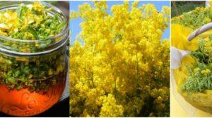 Ceai de SÂNZIENE galbene pentru boli tiroidiene, nervoase, de piele, venerice