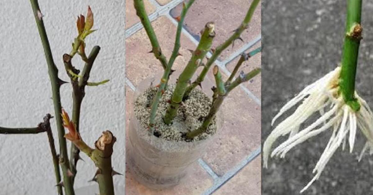 Cum se plantează trandafirii prin butași în doar 5 zile