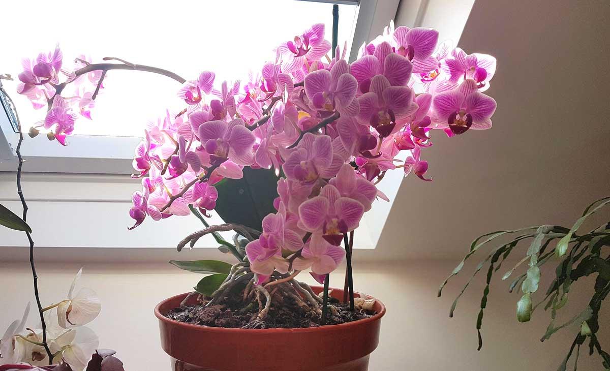 Ce trebuie făcut dacă orhideea nu vrea să înflorească: o modalitate ușoară de a obține flori