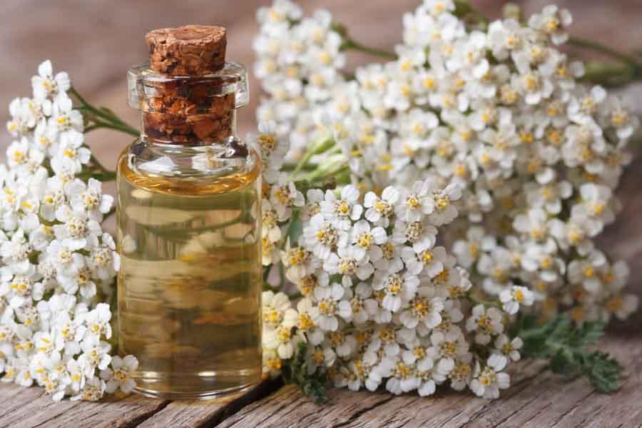 Curăţă sângele şi ficatul de toxine, ajută la tratarea varicelor. Coada șoricelului: Efectul plantei medicinale ca ceai, tinctură, unguent