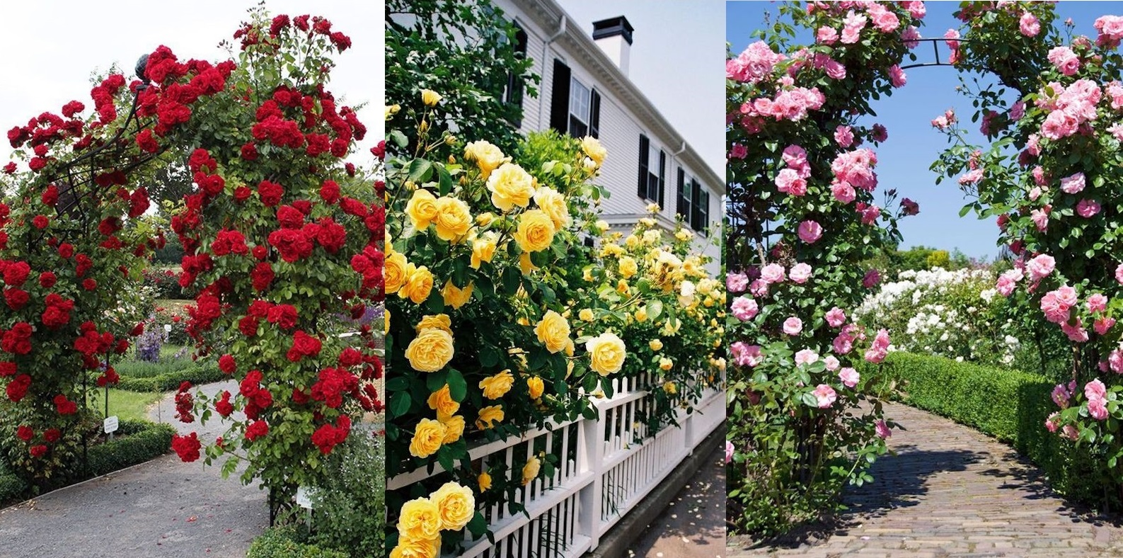 Cum sa ai tufe bogate de trandafiri spectaculosi in curtea casei tale. Ingrijirea trandafirilor cataratori. GALERIE FOTO!