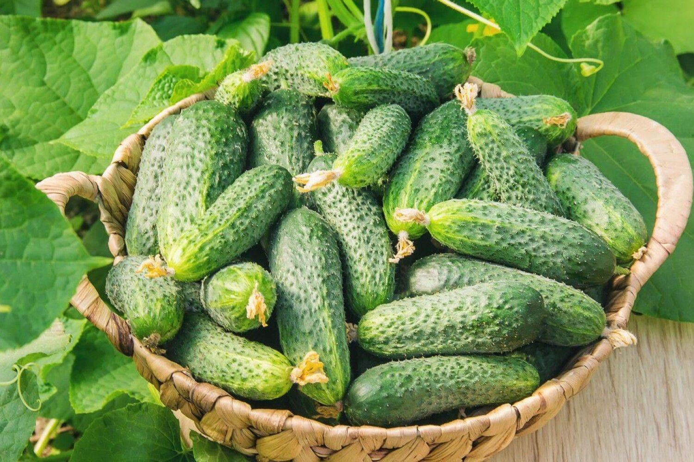 Cum să fertilizați castraveții pentru a evita frunzele galbene și pentru a avea recoltă bogată