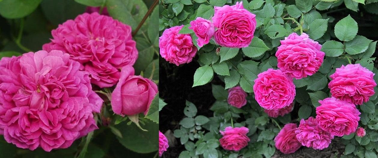 Leacuri băbeşti cu trandafiri de dulceață